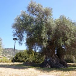 {:it}Gli Alberi Monumentali di Sardegna{:}{:en}The Monumental Trees of Sardinia{:}
